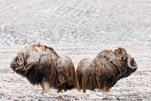 Musk ox (Ovibos moschatus) two covered in snow, Wrangel Island, Far Eastern Russia, September.  -  Sergey  Gorshkov