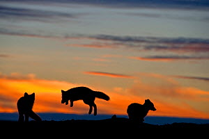 Arctic foxes (Vulpes lagopus) playing, silhouetted at sunset, Wrangel Island, Far Eastern Russia. August 2010.  -  Sergey  Gorshkov