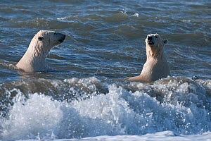 Polar bears (Ursus maritimus) juveniles playing in waves, Wrangel Island, Far Eastern Russia. September 2010. - Sergey  Gorshkov