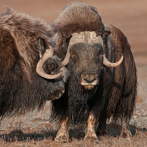 Musk ox (Ovibos moschatus) portrait of two standing closely,  Wrangel Island, Far Eastern Russia, September.  -  Sergey  Gorshkov