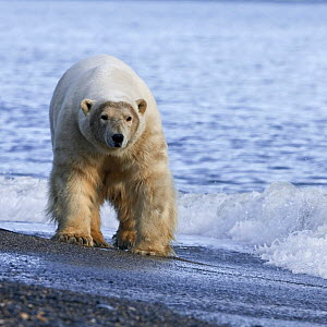 Polar bear (Ursus maritimus) walking along beach, Wrangel Island, Far Eastern Russia, September. - Sergey  Gorshkov