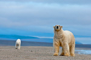 Polar bear (Ursus maritimus) walking along beach with another behind, Wrangel Island, Far Eastern Russia, September.  -  Sergey  Gorshkov