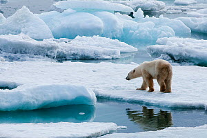 Polar bear (Ursus maritimus) on pack ice off the coast of Wrangel Island, Far Eastern Russia, September.  -  Sergey  Gorshkov