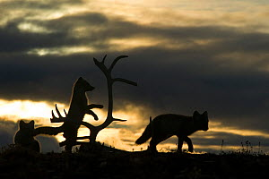 Arctic foxes (Vulpes lagopus) juveniles playing, silhouetted at sunset, Wrangel Island, Far Eastern Russia, August.  -  Sergey  Gorshkov