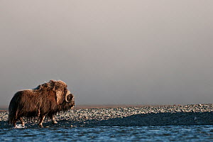 Musk ox (Ovibos moschatus) walking on coast, Wrangel Island, Far Eastern Russia, August.  -  Sergey  Gorshkov