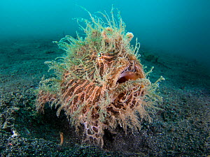 RF- Wide angle portrait of Hairy frogfish (Antennarius striatus) waiting to ambush prey on black sand slope. Lembeh Strait, North Sulawesi, Indonesia. Molucca Sea. (This image may be licensed either a... - Alex Mustard