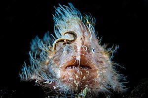 Hairy frogfish (Antennarius striatus) using its worm shaped lure to attract prey. Aer Prang, Bitung, North Sulawesi, Indonesia. Lembeh Strait, Molucca Sea. - Alex Mustard