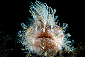 Portrait of Hairy frogfish (Antennarius striatus) lying in wait for prey on the sand. This large individual was probably female. Aer Prang, Bitung, North Sulawesi, Indonesia. Lembeh Strait, Molucca Se... - Alex Mustard