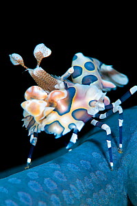 Harlequin shrimp (Hymenocera elegans) on blue sea star. This species of shrimps feeds on starfish, turning them upsidedown and keeping them as living larder. Bitung, North Sulawesi, Indonesia. Lembeh... - Alex Mustard