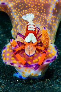 Emperor shrimp (Periclimenes imperator / Zenopontonia rex) hitchhiking on large t-bar nudibranch (Ceratosoma trilobatum) The shrimp gains food source and protection on the toxic seaslug. Bitung, North...  -  Alex Mustard