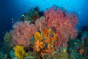 Thriving reef scene, with Seafans (Melithaea sp.) and reef fish. Boo West, Misool, Raja Ampat, West Papua, Indonesia. Ceram Sea. - Alex Mustard