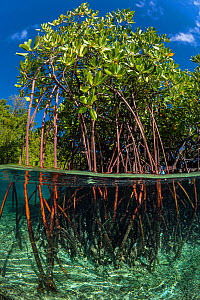 Stand of mangrove trees with their roots in the water. Yanggefo Island, Gam Island, Raja Ampat. Dampier Strait, Tropical West Pacific Ocean. - Alex  Mustard