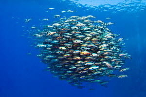 Large school of Bohar snappers (Lutjanus bohar) which have gathered in the summer in the Red Sea for spawning. Shark Reef, Ras Mohammed Marine Park, Sinai, Egypt. Red Sea. - Alex Mustard