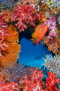 Coral grouper (Cephalopholis miniata) guarding its territory on colourful coral reef. East Of Eden, Similan Islands, Thailand. Andaman Sea, Indian Ocean. - Alex Mustard