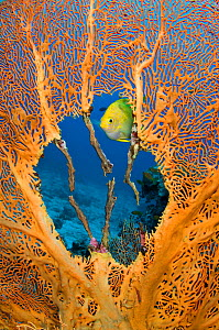 RF- Male Golden damselfish (Amblyglyphidodon aureus) guarding  clutch of eggs, which the female has laid in the nest he has created in the centre of seafan (Annella mollis) East of Eden, Similan Islan...  -  Alex Mustard