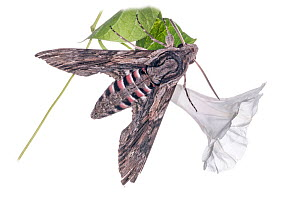 Convolvulus hawkmoth (Agrius convolvuli) resting on bindweed, in garden at Podere Montecucco, near Orvieto, Umbria, Italy, August.  -  Paul  Harcourt Davies