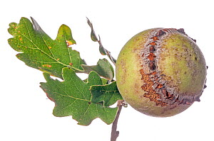Oak Gall caused by Gall wasp (Andricus quercustozae) Podere Montecucco, Orvieto, Umbria, Italy, September.  -  Paul  Harcourt Davies