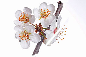 Wild Cherry (Prunus avium)  flowers, near Orvieto, Umbria, Italy, March.  -  Paul  Harcourt Davies