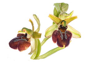 Early spider orchid (Ophrys sphegodes)  flower, Torrealfina, Lazio, Italy, April.  -  Paul  Harcourt Davies