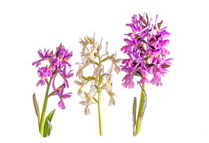 Roman Orchid (Dactylorhiza romana) in flower, purple and white colour morphs, Viterbo, Italy, April.  -  Paul  Harcourt Davies