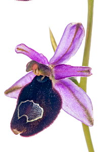 Hybrid orchid (Ophrys x enobarbia) in flower, hybrid between Bertolonii's Orchid (Ophrys bertolonii) and the Late Spider Orchid (Ophrys fuciflora) near Orvieto, Umbria, Italy, May.  -  Paul  Harcourt Davies