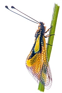 Owl Fly / Ascalaphid (Libelloides longicornis) on grass, near Orvieto, Italy, May.  -  Paul  Harcourt Davies