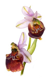 Hybrid orchid (Ophrys pizzulensis) a possible hybrid between the Small-patterned Ophrys (Ophrys fuciflora ssp. parvimaculata) and Spectacle Ophrys (Ophrys argolica ssp biscutella) growing in moist-woo...  -  Paul  Harcourt Davies
