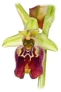 Hybrid orchid (Ophrys x cosentiana nociana), hybrid of Small-patterned Ophrys (Ophrys fuciflora parvimaculata ) and Ophrys fuciflora apulica, growing in moist-woodland above Lago di Varano, Gargano, P...  -  Paul  Harcourt Davies