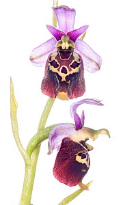 Late Spider orchid (Ophrys holoserica ) on Monterale, Nr Montegabbione, Umbria, Italy, June.  -  Paul  Harcourt Davies