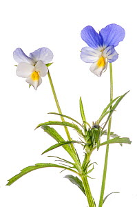 Field Pansy (Viola arvensis) in flower, Podere Montecucco, Orvieto, Umbria, Italy, May.  -  Paul  Harcourt Davies