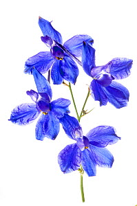 Forking Larkspur (Consolida regalis) in flower, near Orvieto, Umbria, Italy, June.  -  Paul  Harcourt Davies