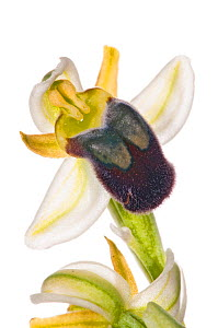 Pale Ophrys (Ophrys pallida) in flower, Bosco di Ficuzza forest, Sicily, Italy, May. Endemic to Sicily.  -  Paul  Harcourt Davies