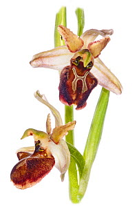 Bee orchid (Ophrys sphegodes atrata) in flower, near Ruggiano, Gargano, Italy, April.  -  Paul  Harcourt Davies