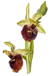 Small-patterned Ophrys (Ophrys fuciflora parvimaculata) growing in moist-woodland on a north-facing slope near Lago di Varano, Gargano, Italy, April.  -  Paul  Harcourt Davies