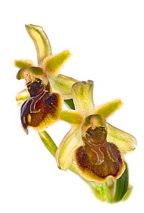 Small spider orchid (Ophrys araneola) in flower, Mount Argentario. Italy, April.  -  Paul  Harcourt Davies