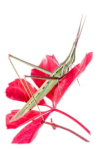 Pointed-nose grasshopper (Acrida ungarica) on flower, Orvieto, Umbria, Italy, October.  -  Paul  Harcourt Davies