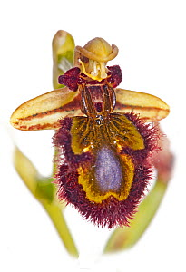 Mirror Ophrys (Ophrys speculum) in flower, Ferla, Sicily, Italy, May. - Paul  Harcourt Davies