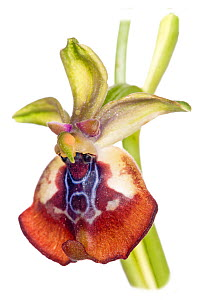 Beaked Ophrys (Ophrys oxyrrynchos) in flower, near Ferla, Sicily, May. Endemic to Italy.  -  Paul  Harcourt Davies