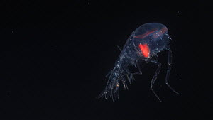 Deep sea amphipod (Cystisoma) swimming, a deep sea species from the Mesopelagic zone. Mid-Atlantic Ridge. Body is totally transparent and the redness in the eye is the visual pigment in the retina.  -  David  Shale