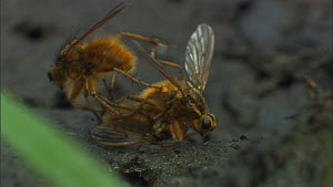Male Yellow dung flies (Scathophaga stercoraria) fighting over a female on a cowpat, UK.  -  Ammonite