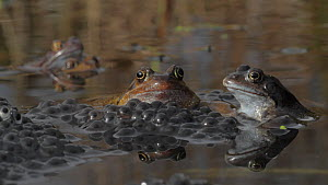 Group of Common frogs (Rana temporaria) spawning in a garden pond, with floating spawn, Somerset, England, UK, March. - John Waters