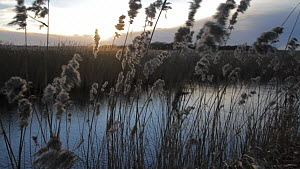 Panning shot of Common reeds (Phragmites communis) blowing in the wind at sunset, Somerset Levels, England, UK, December 2013.  -  John Waters
