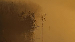Common reeds (Phragmites communis) silhouetted in mist at dawn, Somerset Levels, England, UK, December 2013.  -  John Waters