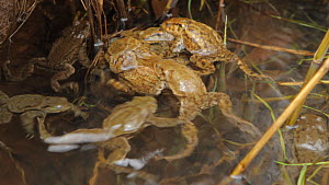 Group of Common toads (Bufo bufo) in a mating ball in a pond, Priddy, Somerset, England, UK, March. - John Waters