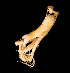 Ginseng root (Panax) against black background.  -  Pal Hermansen
