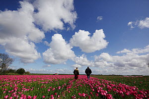 Tulip (Tulipa) field in bloom with two men looking on,  Texel, The Netherlands, May 2012.  -  Pal Hermansen