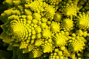 Romanesco broccoli (Brassica oleracea) close up, bred by crossing between cauliflower and broccoli  -  Pal Hermansen