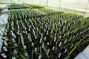 Research experiment in greenhouse, Vollebekk experimental farm, Agricultural University, As, Norway,. September 2012.  -  Pal Hermansen