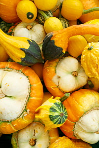 Variet of Pumpkins and squashes (Cucurbita pepo) Norway, August.  -  Pal Hermansen