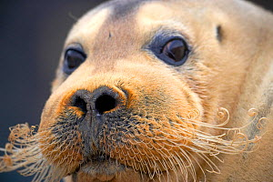 Bearded seal (Erignathus barbatus) portrait, with curled whiskers, Svalbard, Norway, June. - Pal Hermansen